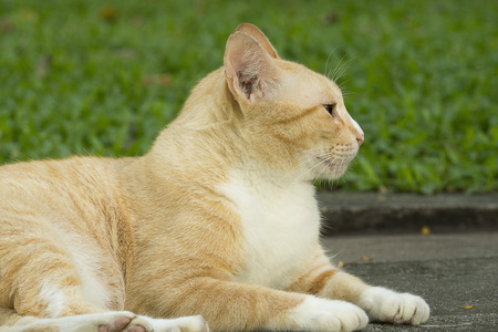 frisky: Yellow cat laying on road in the park Stock Photo