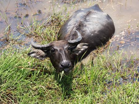 marshy: Buffalo. Thai Water Buffalo animal grazing in marshy swamp area in upcountry.