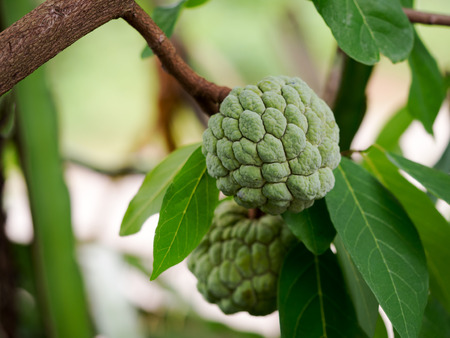custard apple fruit: Green Sugar Apple or Custard Apple fruit growing on a tree. Stock Photo