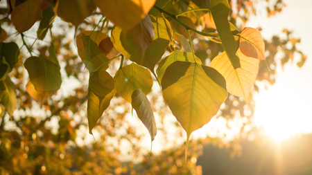 planted: Golden leaves Pho or Bodhi tree with sunlight in sunshine morning in Autumn. Bodhi trees are planted close proximity to Buddhist monastery. Stock Photo