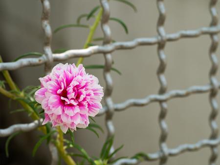 Pink flower growing up on steel metal net fence