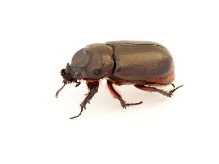 entomological: Female rhinoceros beetle, Rhino beetle, Hercules beetle, Unicorn beetle, Horn beetle, stag Beetle isolated on white background. Stock Photo