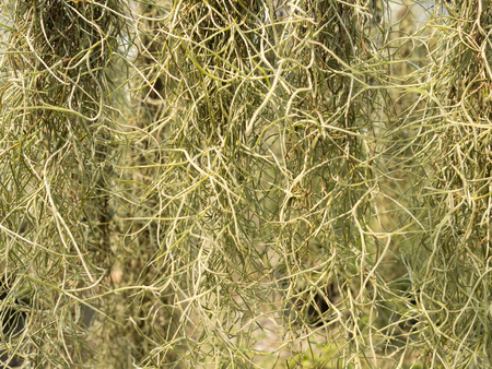 Long Spanish moss or Tillandsia usneoides or Grandpas beard is epiphytic flowering plant hanging in nature as wallpaper background. Called natural certain. Stok Fotoğraf