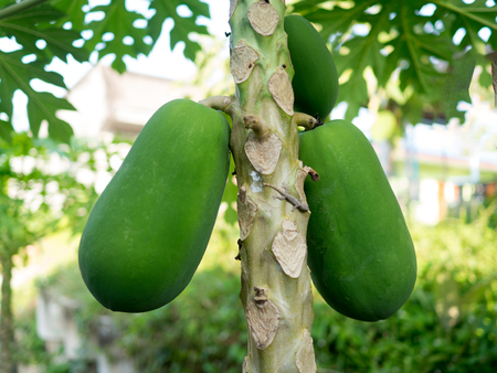 Organic green papaya on tree in plantation garden. Stok Fotoğraf