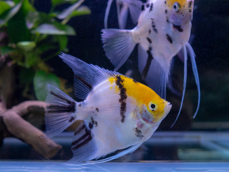 Beautiful white tiger angel fish swim in aquarium tank pet Stok Fotoğraf