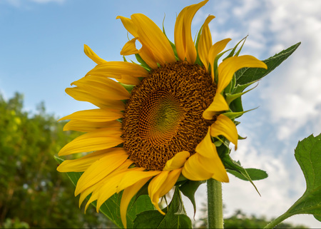 Beautiful yellow sun flower against blue sky and white cloud in nature. Stok Fotoğraf