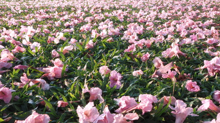 Pink flowers fallen on green grass floor in spring season.