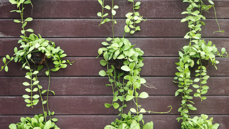Green leaves of Dischidia nummularia. Dischidia nummularia or string of nickels creeping green plant in pot hanging on wood wall. Stok Fotoğraf