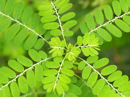 Hierba tailandesa. Chamberbitter, gripeweed, shatterstone, stonebreaker, leafflower o pequeña mimosa en Phyllanthus urinaria. Foto de archivo
