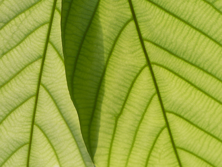 Green leaf background. Abstract close up green leaf texture over sun light. Stok Fotoğraf