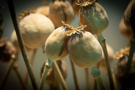 Dried opium poppy or Papaver somniferum or Breadseed poppy. opium drugs plant head.