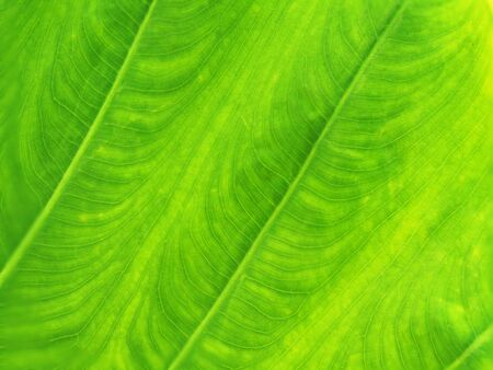 Texture fresh bright green leaf background in nature.