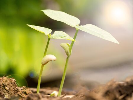 Two small green plant growing from fertile soil with germination seed. Growth and environment concept. Stock fotó