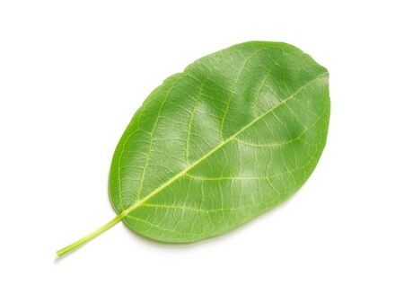 Lush green foliage nature leaf leaves isolated on white background. Reklamní fotografie