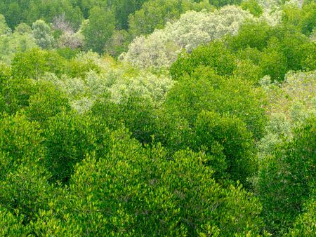 Perspective view bright green leaves mangrove flora forest in nature. Mangrove leaves background. Environment concept. Stock fotó