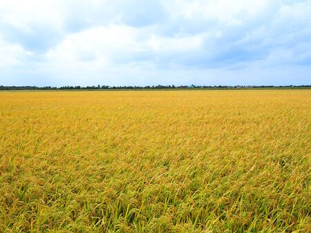Golden rice in rice field with blue sky and white clouds in countryside Thailand.