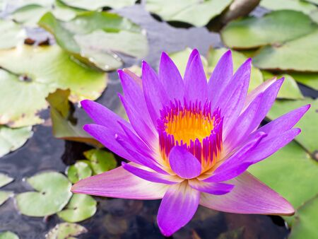 Close up purple violet color lotus flower or water lily with leaves in pond.