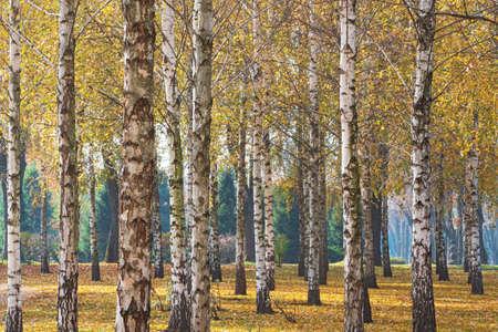 Nature view of birch forest in sunny autumn day Standard-Bild