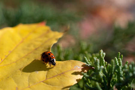 The amazing red ladybug seats on the yellow leaf in the blurred multicolored floral background