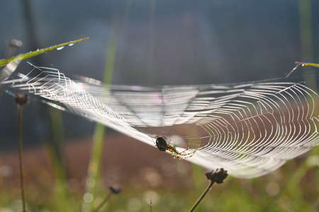 The dark-yellow spider and large web in the blurred background