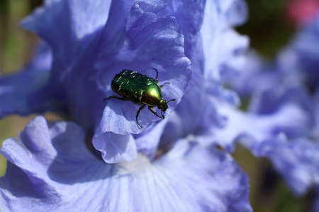 The bright green beetle is on a violet iris petal
