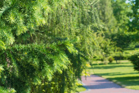 View of a park track with conifer trees. Branch of spruce on blurred plant background. Spring or sumer time