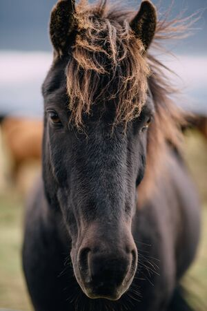 Close-up portrait of dark Icelandic horse on cloudy day Stockfoto