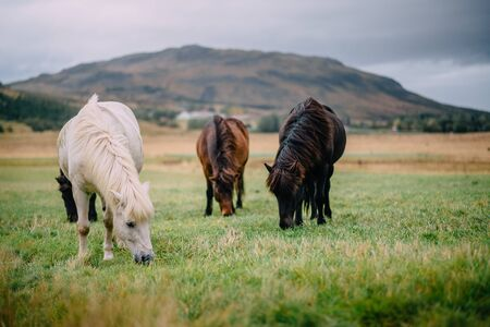 group of multi-colored Icelandic horses graze in pasture Banque d'images - 133165345