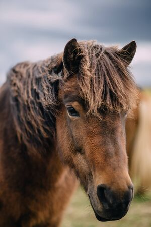 Close-up portrait of brown Icelandic horse on cloudy day