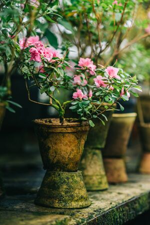 azalea bush blooms in an old clay pot in greenhouse, close-up