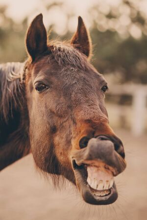 The face of a neighing horse close-up.