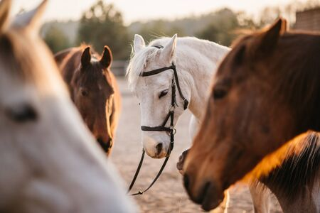 A closeup of the heads of a group of horses in a corral on a ranch. Selective focus. Imagens