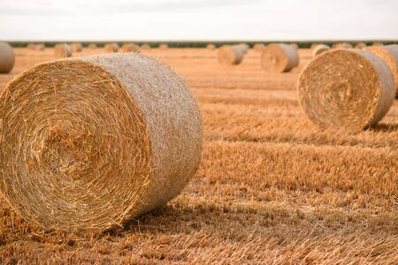 Cylindrical straw bales lie on a mowed field.