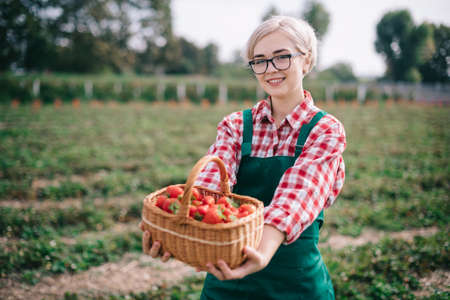 Farmer is harvesting strawberries. Young happy woman in an apron shows full basket of ripe strawberries. Stok Fotoğraf