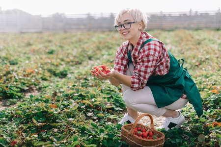 Farmer is harvesting strawberries. Young woman collects ripe strawberries in basket at plantation. Woman in apron holds handful of ripe strawberries in hands and looks at camera.