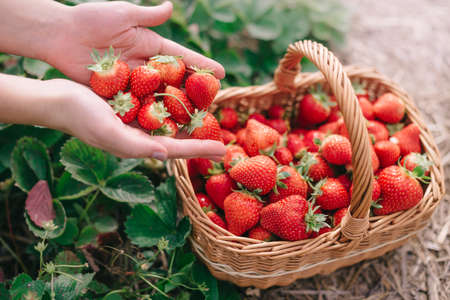 Harvesting strawberries. Woman farmer pours handful of ripe strawberries into basket, close-up.