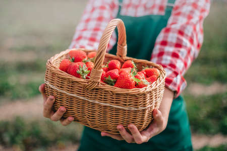 Harvesting strawberries. Close-up of full basket of ripe strawberries in hands of woman farmer. Selective focus.