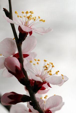 Closeup of peach blossom photo