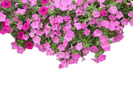 Pink red morning glory on white background Stock Photo - 5241571