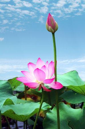 flor de loto: loto rosa