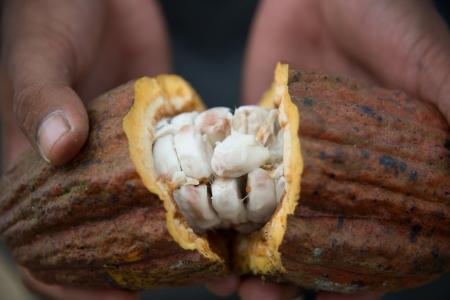 ぬれた豆を示すココア ポッドを開く
