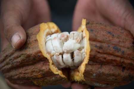 Opened Cocoa Pod showing the wet beans Stock Photo