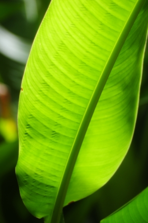 bird of paradise plant: A green Birds of Paradise leaf