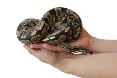 L'image du python royal ou royal sur la main de l'homme