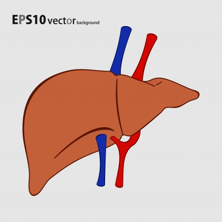 human liver background Stock Vector - 18058724