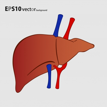 human liver background Stock Vector - 18058859