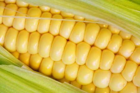 Fresh corn on the cob with leaves close up