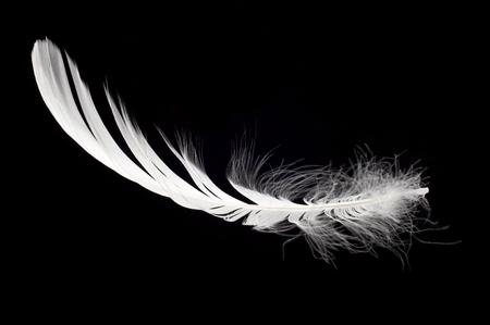white feather: piume di cigno bianco isolata su sfondo nero