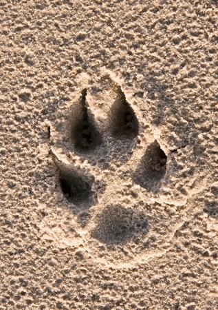 paw print: impresi�n en la arena de la playa de pata de perros Foto de archivo