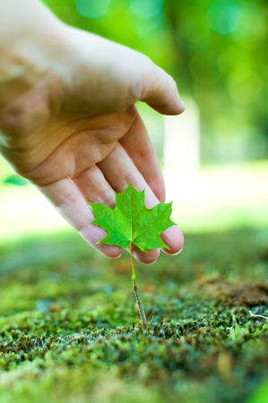 hand shows a small maple tree. care fot nature concept. Stock Photo - 10108054